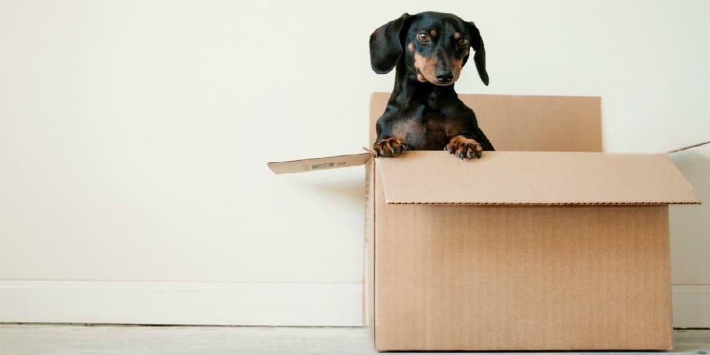 daschund in a cardboard box