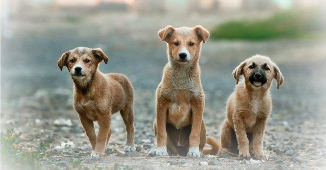three-pet-dogs