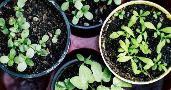 home garden seedlings