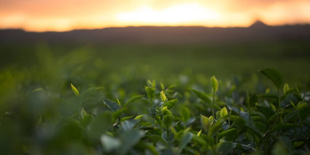 sun rising over growing agriculture crops